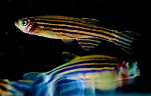 Prober uses zebrafish as a model for sleep, and, using a larval zebrafish-based screen, recently identified a novel neuropeptide regulator of the sleep/wake state. (Photo: Uri Manor, NICHD)
