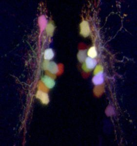 "Individually labeled neurons in a 5-day-old zebrafish larva expressing the ""Brainbow"" transgene, which allows each hypothalamic wake-promoting neuron to be labeled with a different color. This technique allows Prober and his research group to trace each neuronal projection throughout the whole animal. (Image: David Prober)"