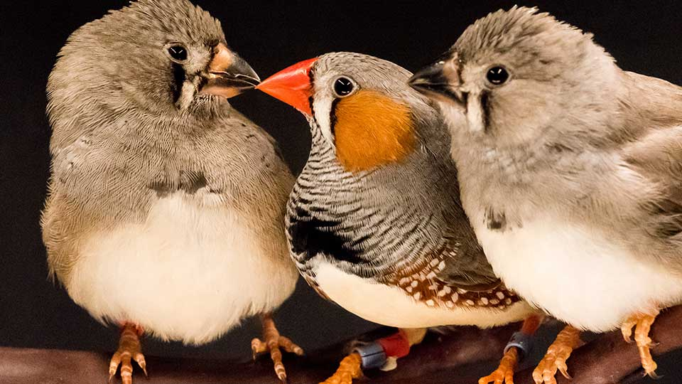 A zebra finch parent (with orange and striped feathers) teaches a young bird how to sing a courtship song. (Photo: NYU Langone Medical Center)